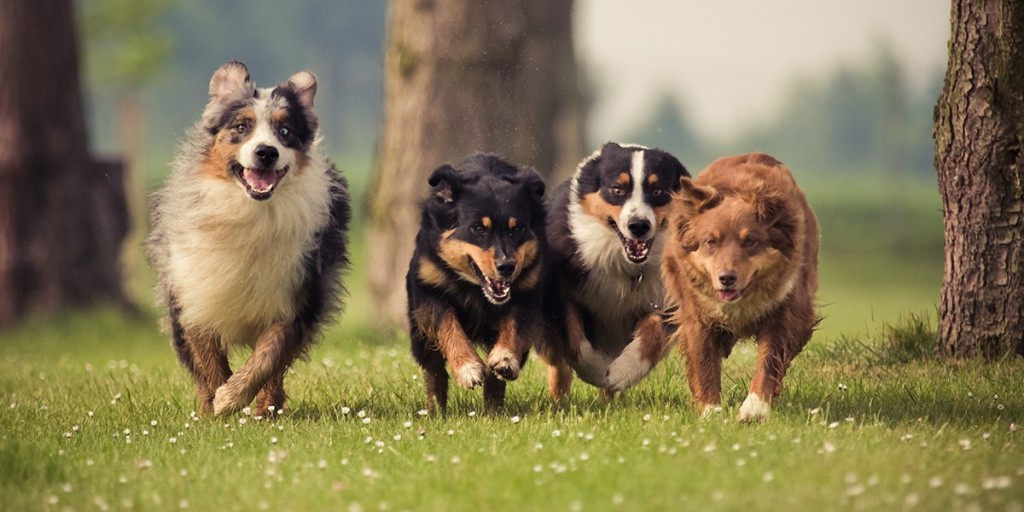 Canine Influenza Craig Road Animal Hospital